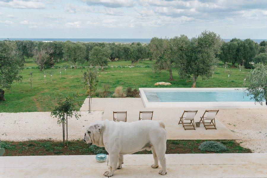 bull dog bianco